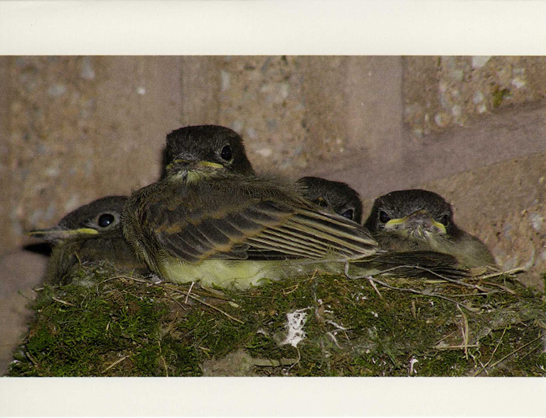 Nest of phoebe fledglings photographic note card